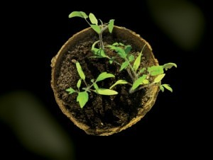 Growing Tomato Seeds