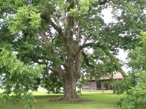 About Pecan Trees