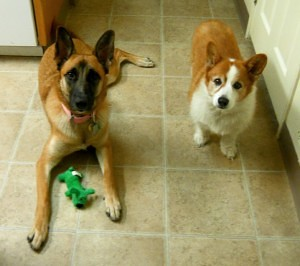 Corgi and German Sheppard